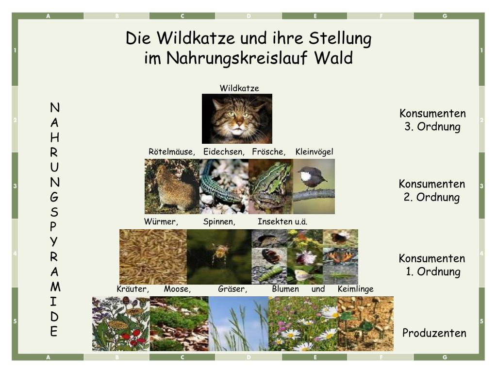 Die Wildkatze und ihre Stellung