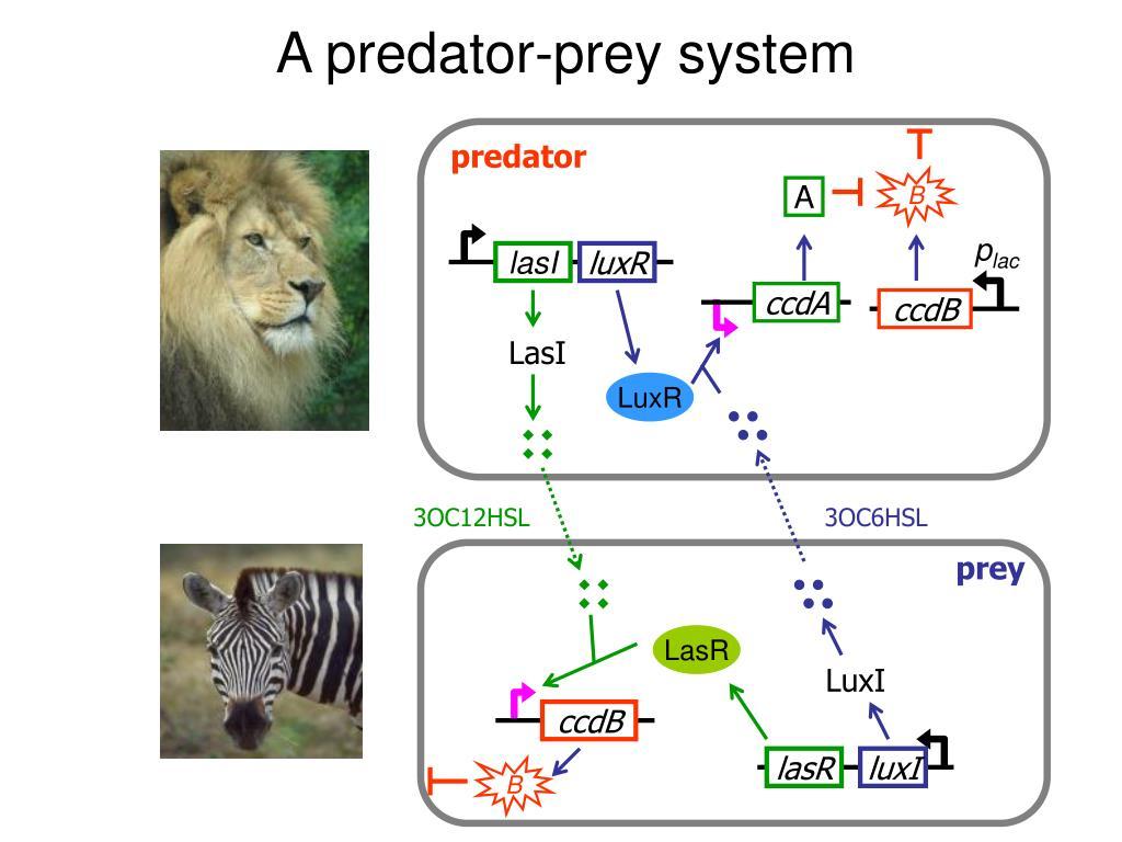 A predator-prey system