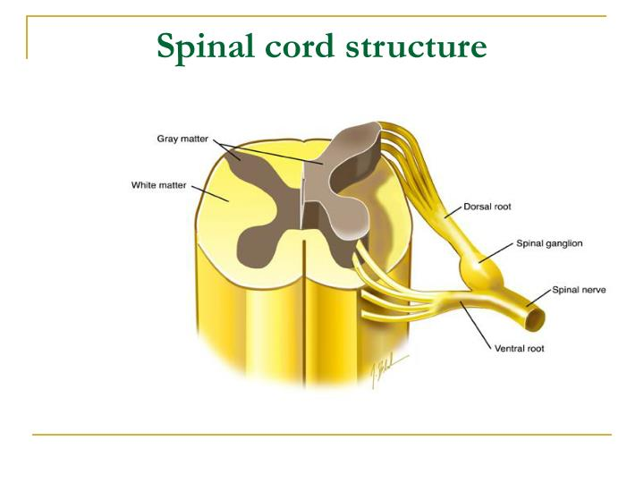 Spinal cord structure