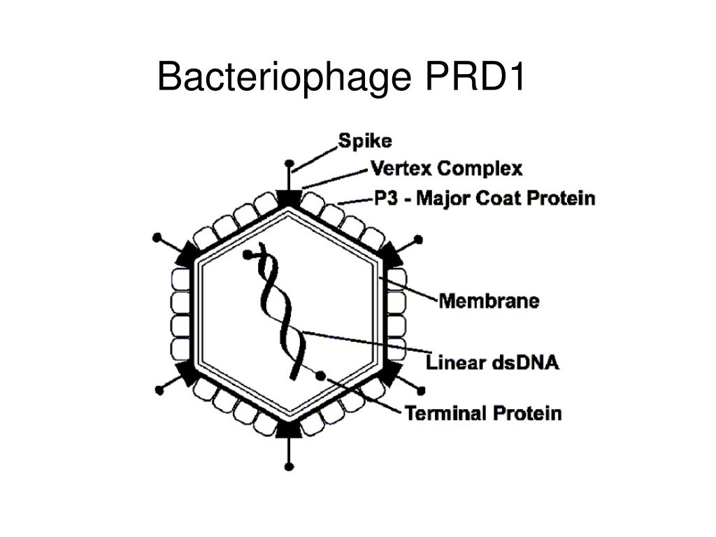 Bacteriophage PRD1