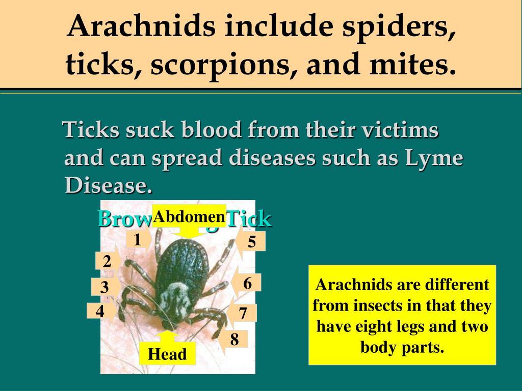 Arachnids include spiders, ticks, scorpions, and mites.