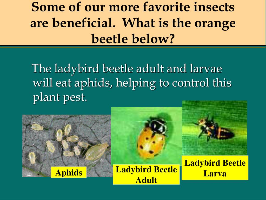 Some of our more favorite insects are beneficial.  What is the orange beetle below?
