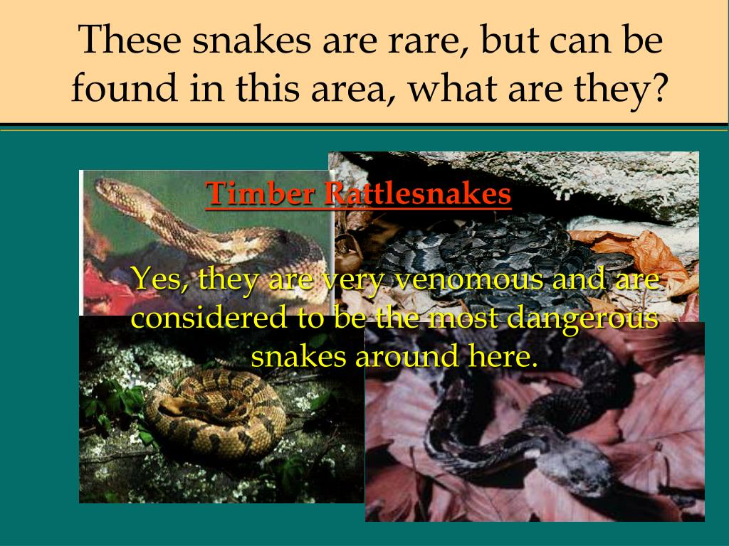 These snakes are rare, but can be found in this area, what are they?