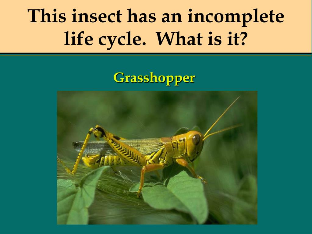 This insect has an incomplete
