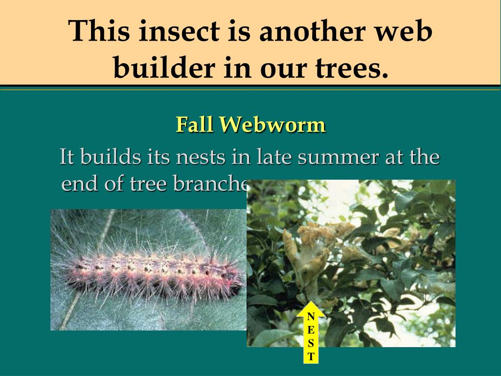 This insect is another web builder in our trees.