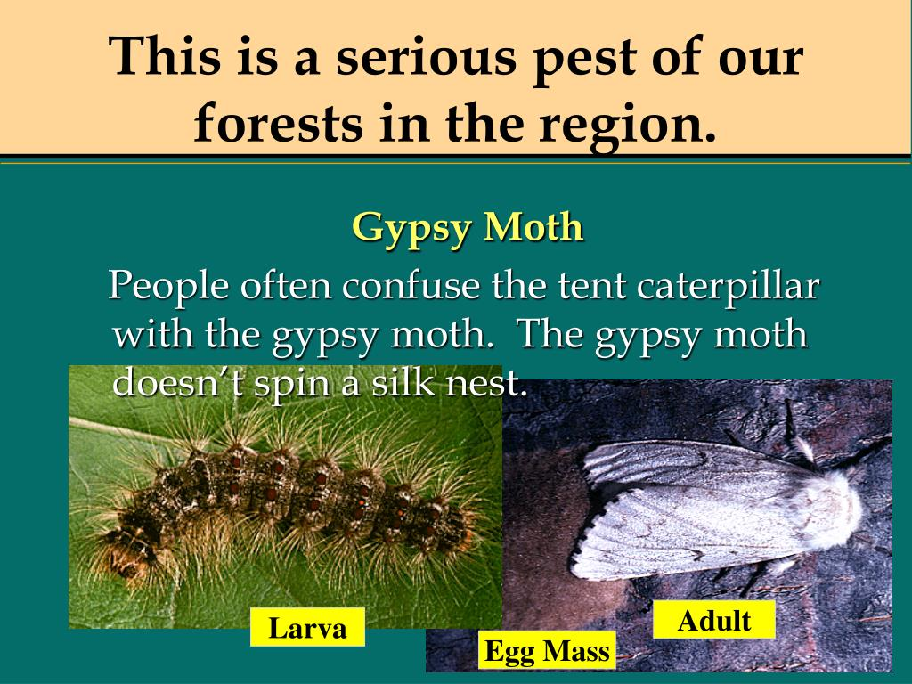 This is a serious pest of our forests in the region.