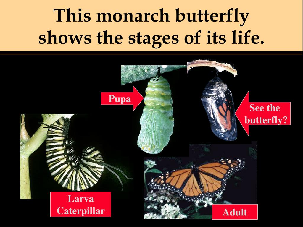 This monarch butterfly
