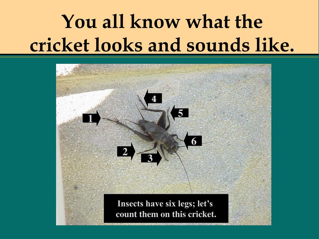 You all know what the cricket looks and sounds like.