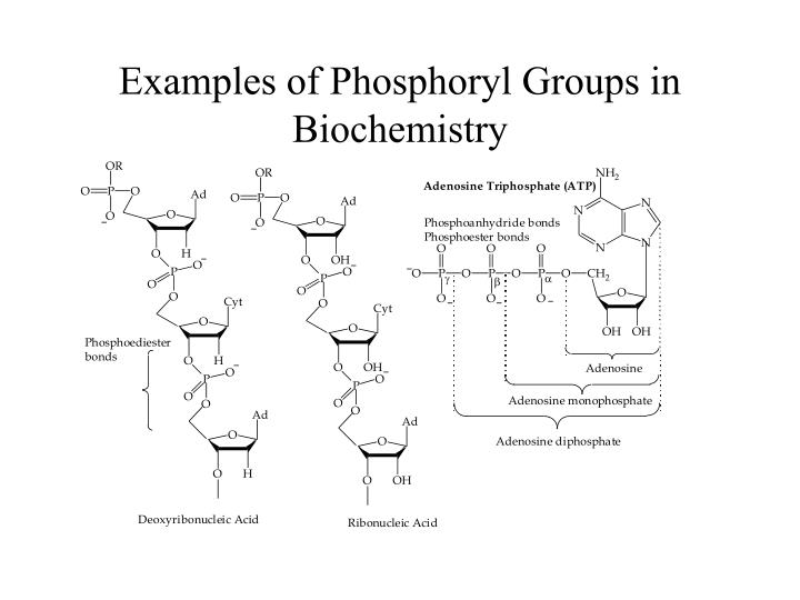 Examples of phosphoryl groups in biochemistry