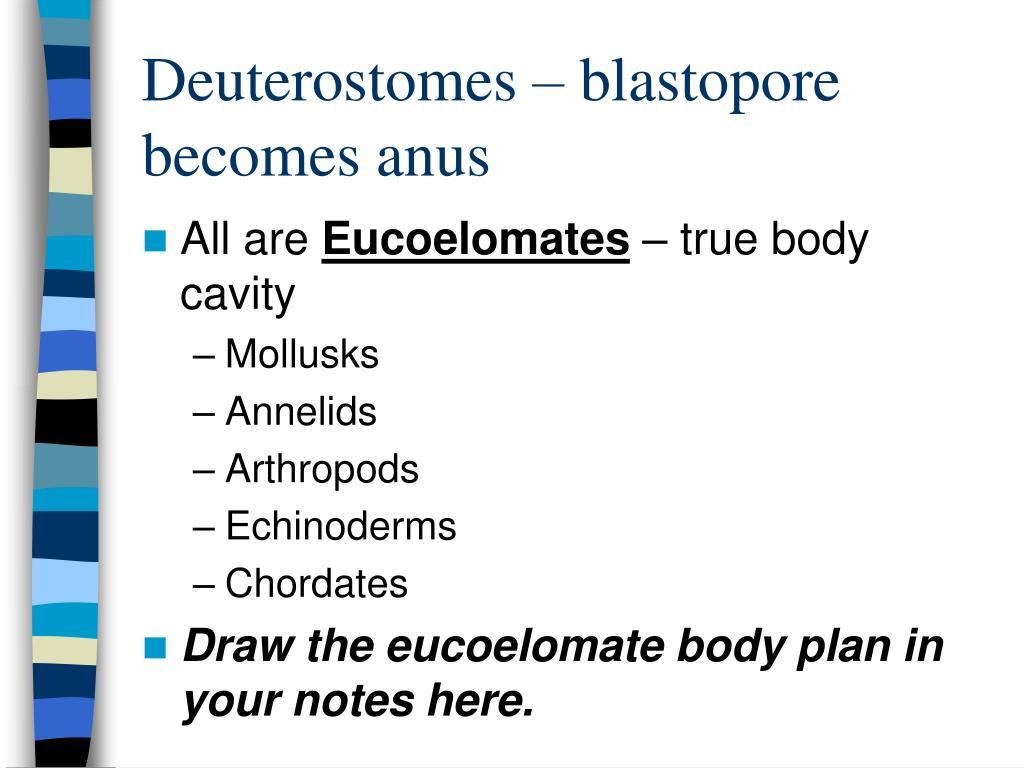Deuterostomes – blastopore becomes anus