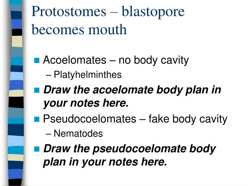 Protostomes – blastopore becomes mouth