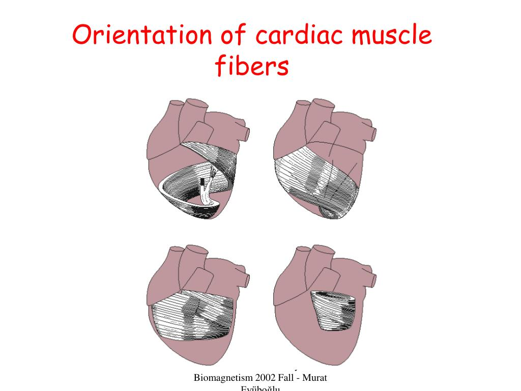 Orientation of cardiac muscle fibers