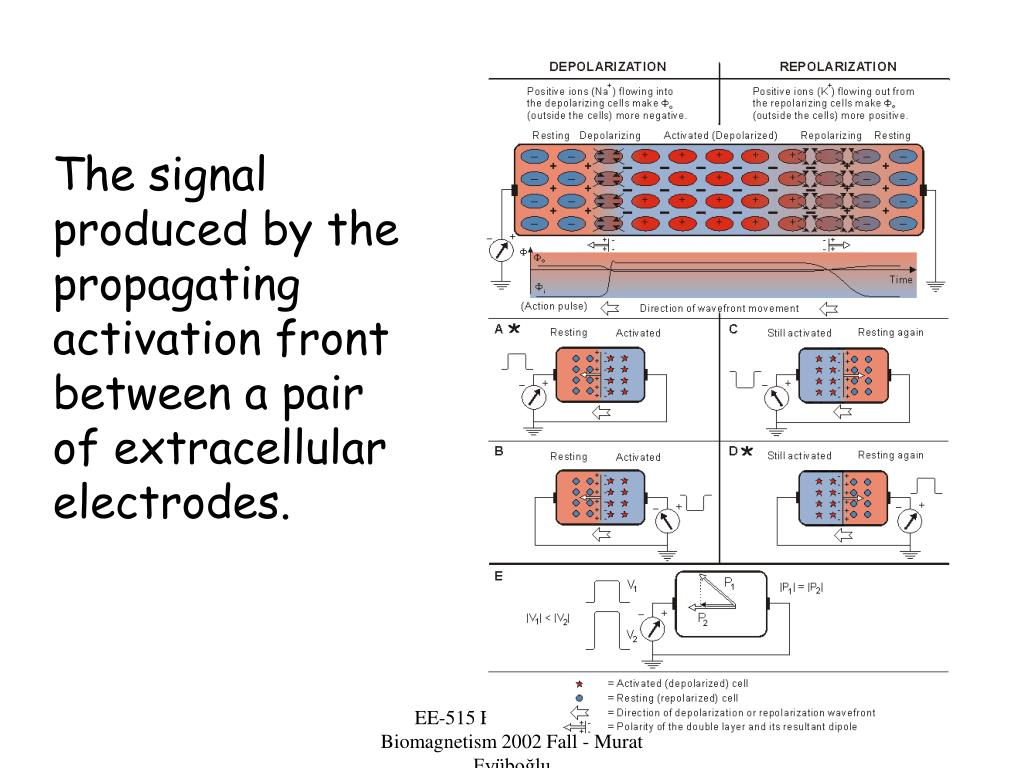 The signal produced by the propagating activation front between a pair of extracellular electrodes.