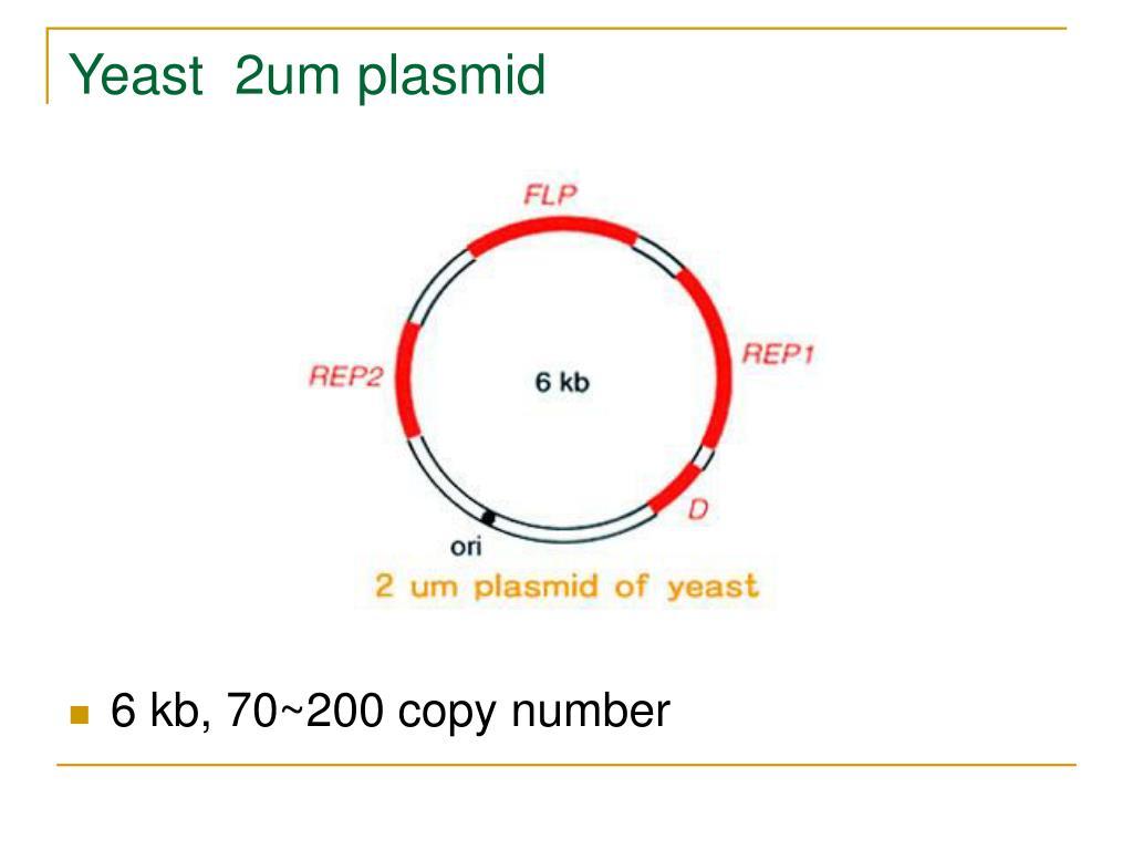 Yeast  2um plasmid