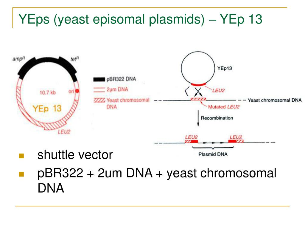 YEps (yeast episomal plasmids) – YEp 13