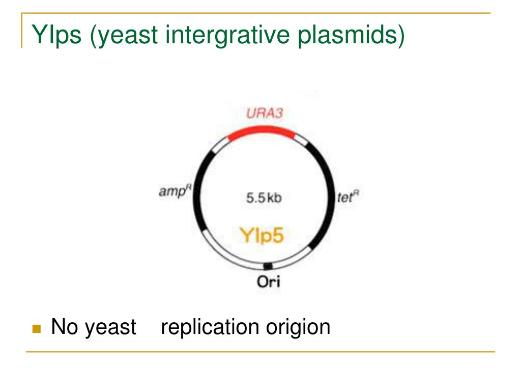 YIps (yeast intergrative plasmids)