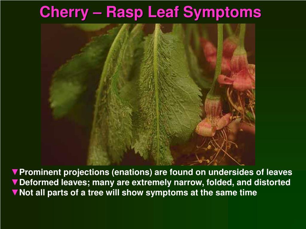 Cherry – Rasp Leaf Symptoms