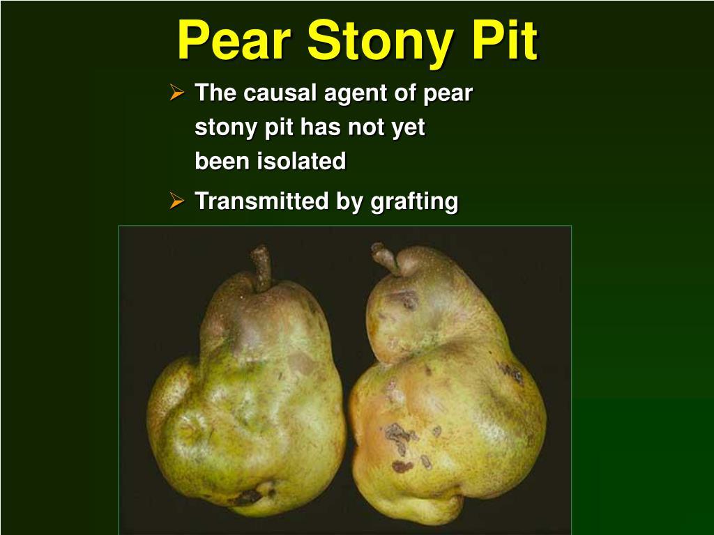 Pear Stony Pit