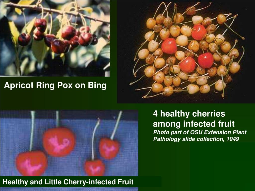 4 healthy cherries among infected fruit