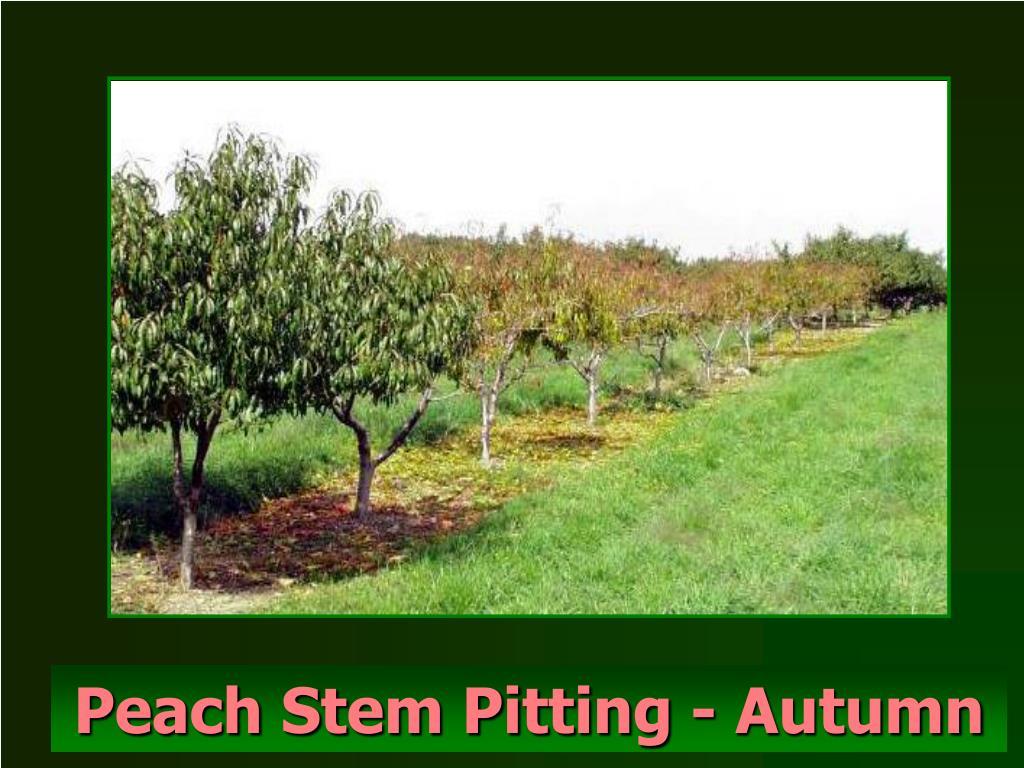 Peach Stem Pitting - Autumn