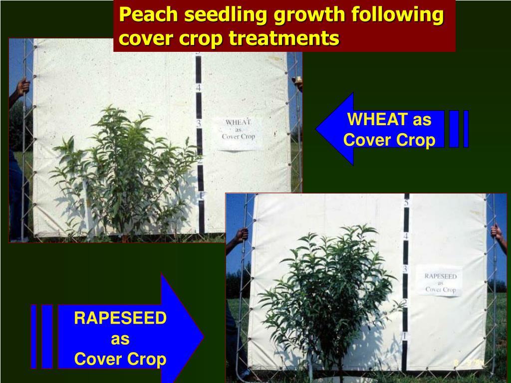Peach seedling growth following