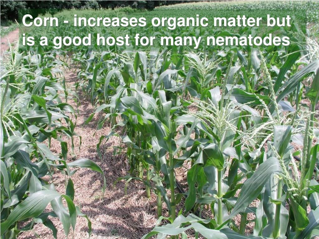 Corn - increases organic matter but is a good host for many nematodes