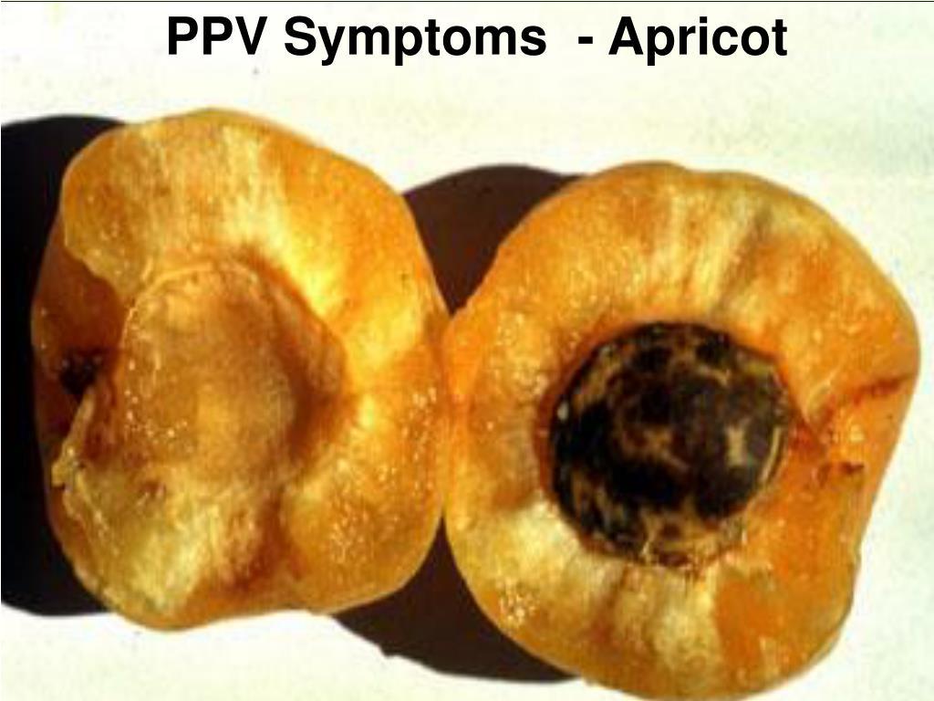 PPV Symptoms  - Apricot