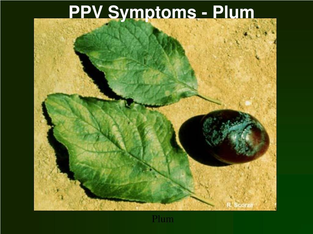 PPV Symptoms - Plum