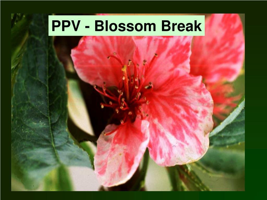 PPV - Blossom Break