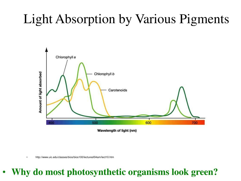 light absorbtion 41) folate absorbtion is influenced by folate gene variation in 5,10-methylenetetrahydrofolate reductase (mthfr) gene polymorphism 677c/t, which is necessary for the folate methylation cycle, where homocysteine is converted to methionine.