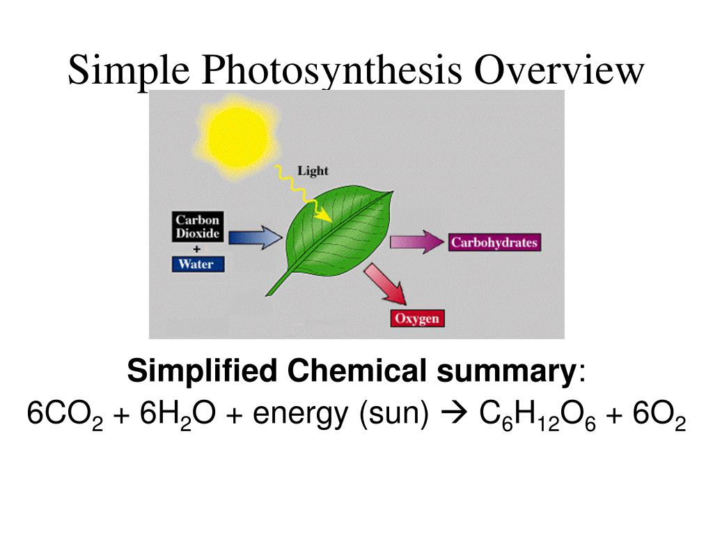 photosynthesis simplified Photosynthesis, the beginning of energy flows in plants and animals food chains and energy pyramids, energy changes and heat flow beginning with photosynthesis.
