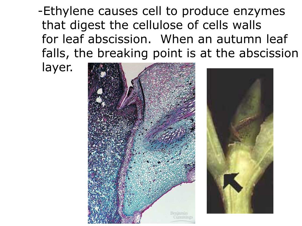 -Ethylene causes cell to produce enzymes