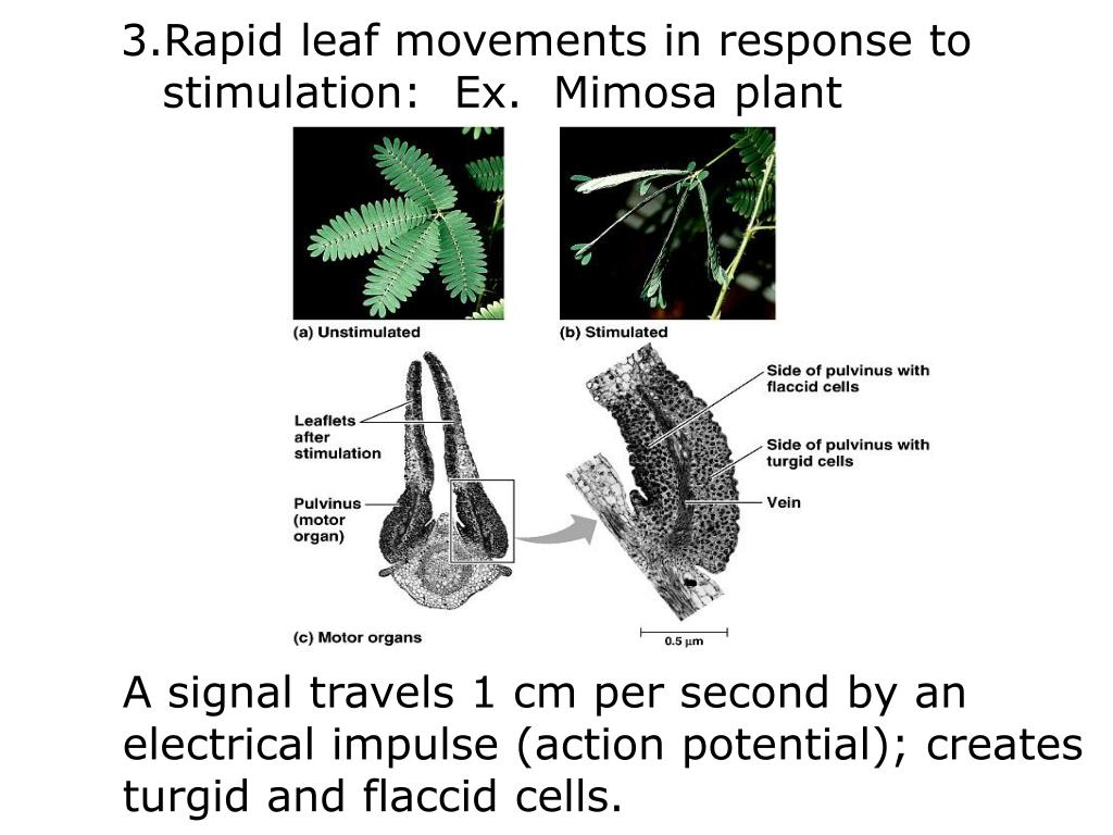 Rapid leaf movements in response to