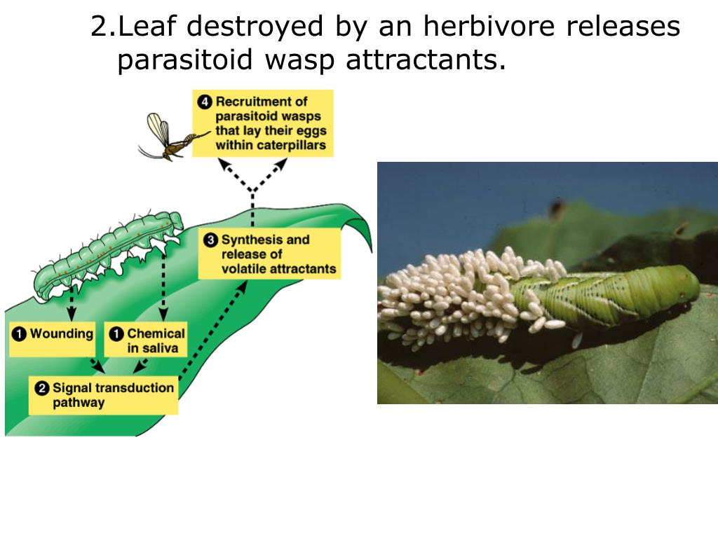 Leaf destroyed by an herbivore releases