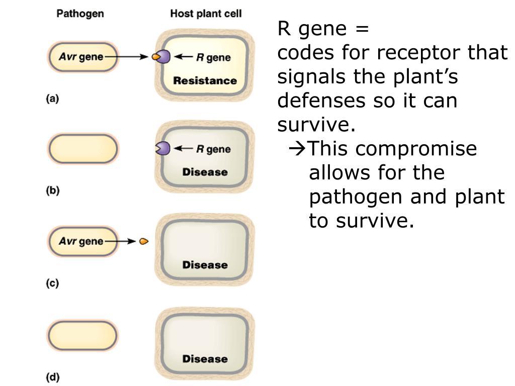 R gene =