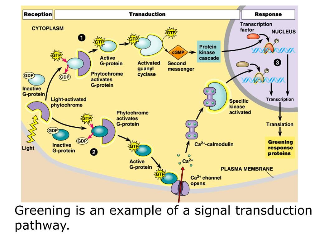 Greening is an example of a signal transduction