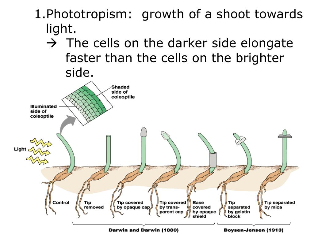 Phototropism:  growth of a shoot towards