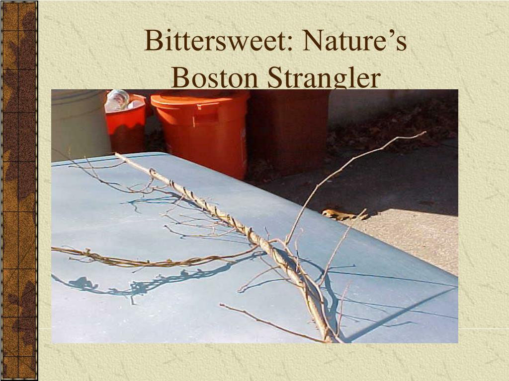 Bittersweet: Nature's Boston Strangler