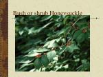 bush or shrub honeysuckle