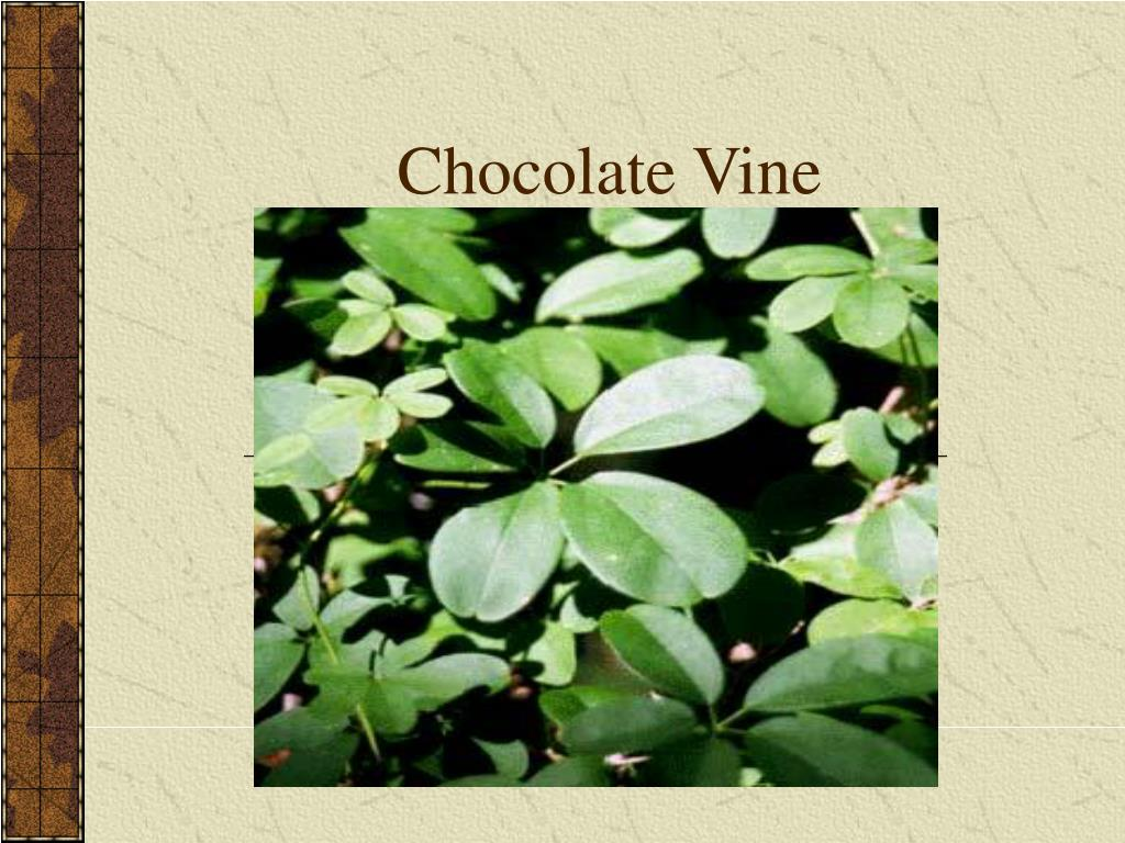 Chocolate Vine