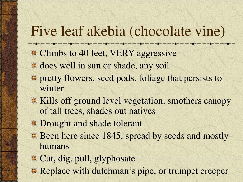 Five leaf akebia (chocolate vine)