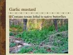 garlic mustard102