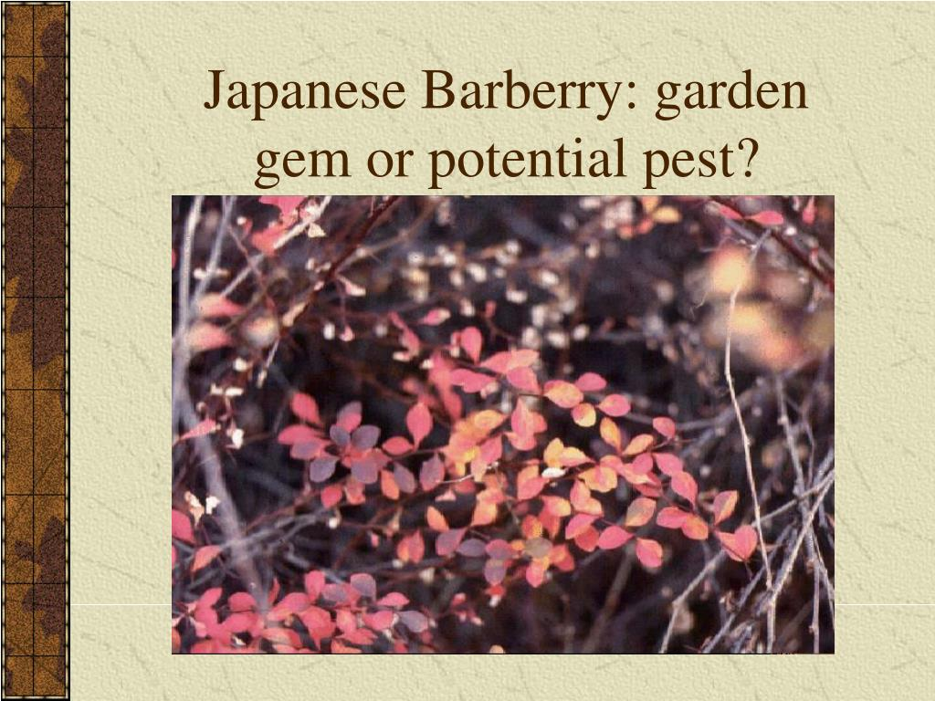 Japanese Barberry: garden gem or potential pest?