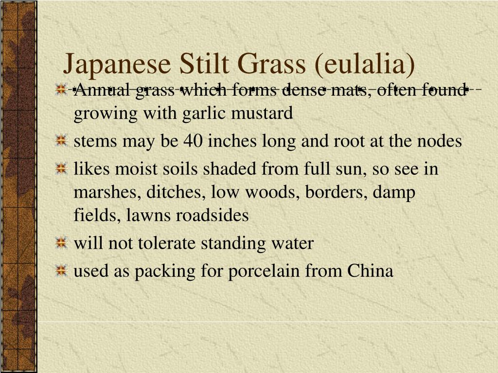 Japanese Stilt Grass (eulalia)