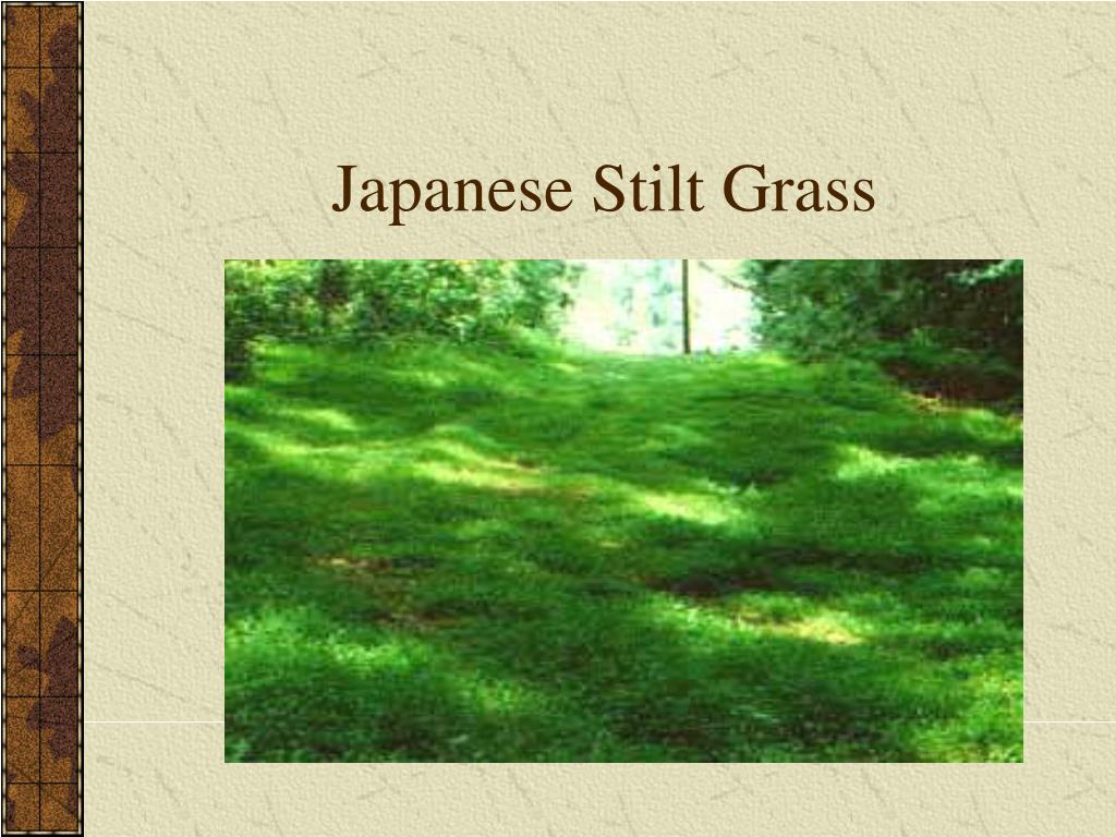 Japanese Stilt Grass