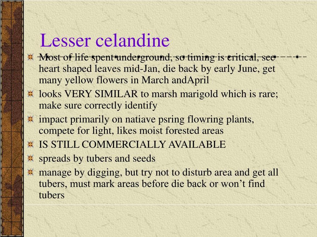 Lesser celandine