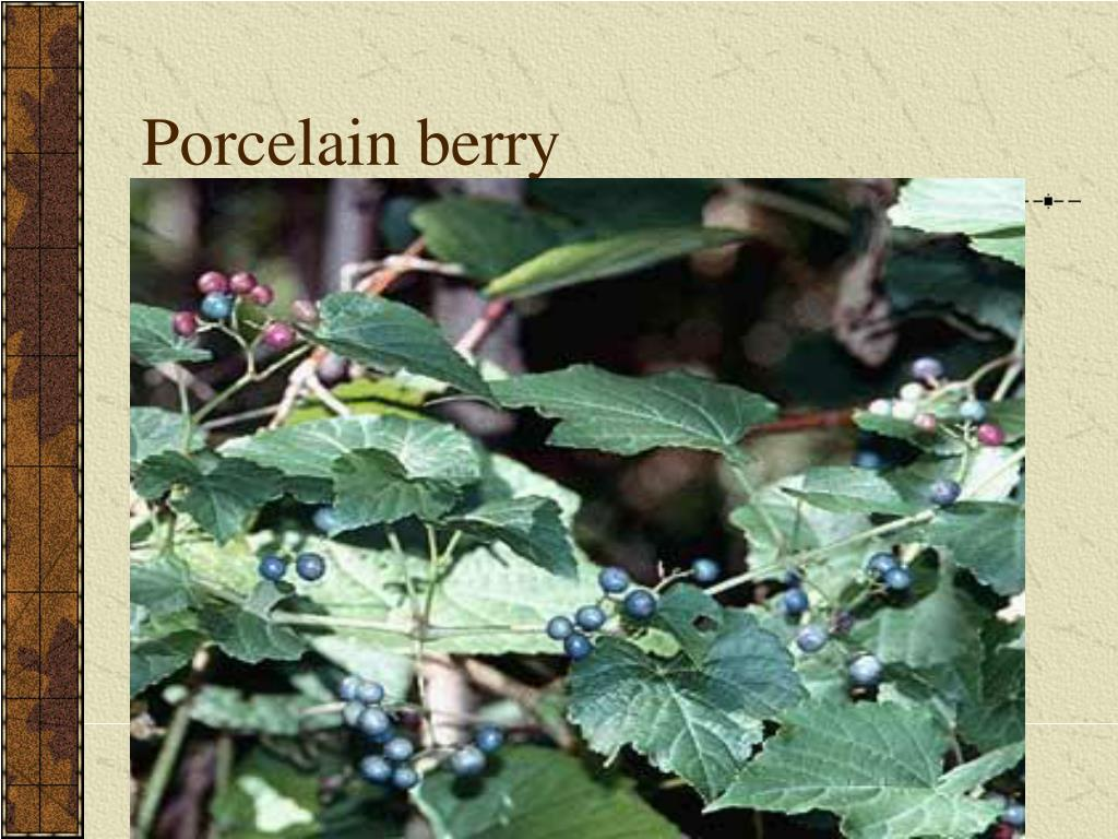 Porcelain berry