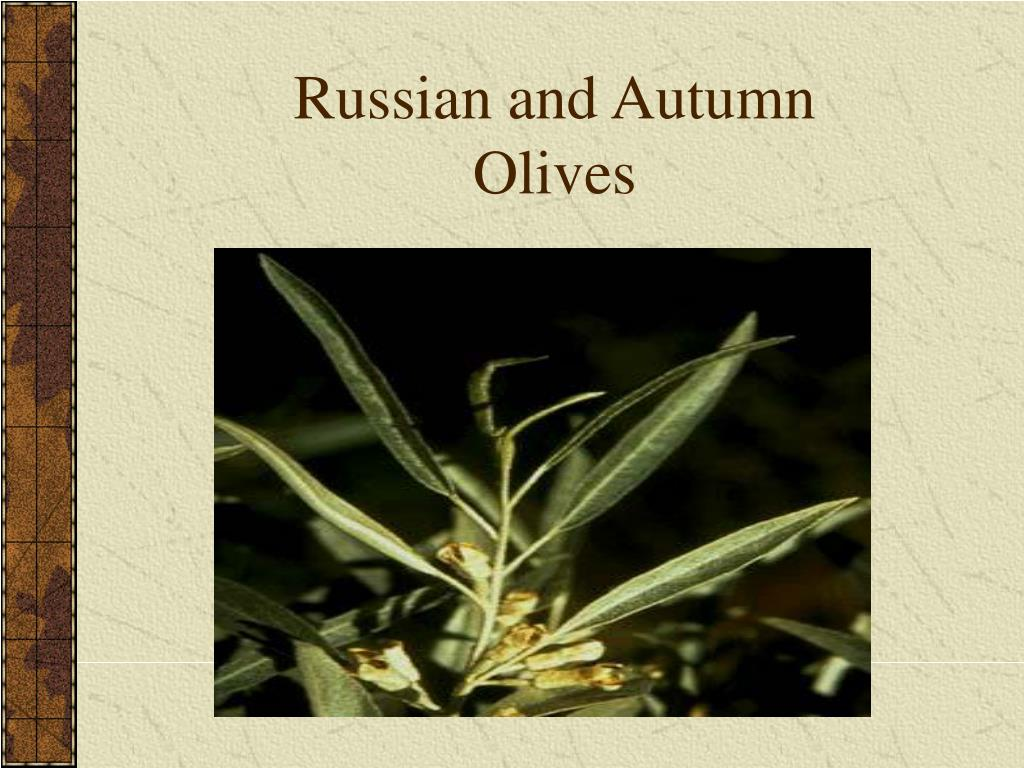Russian and Autumn Olives