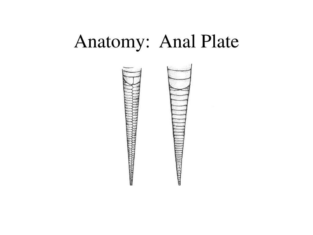 Anatomy:  Anal Plate