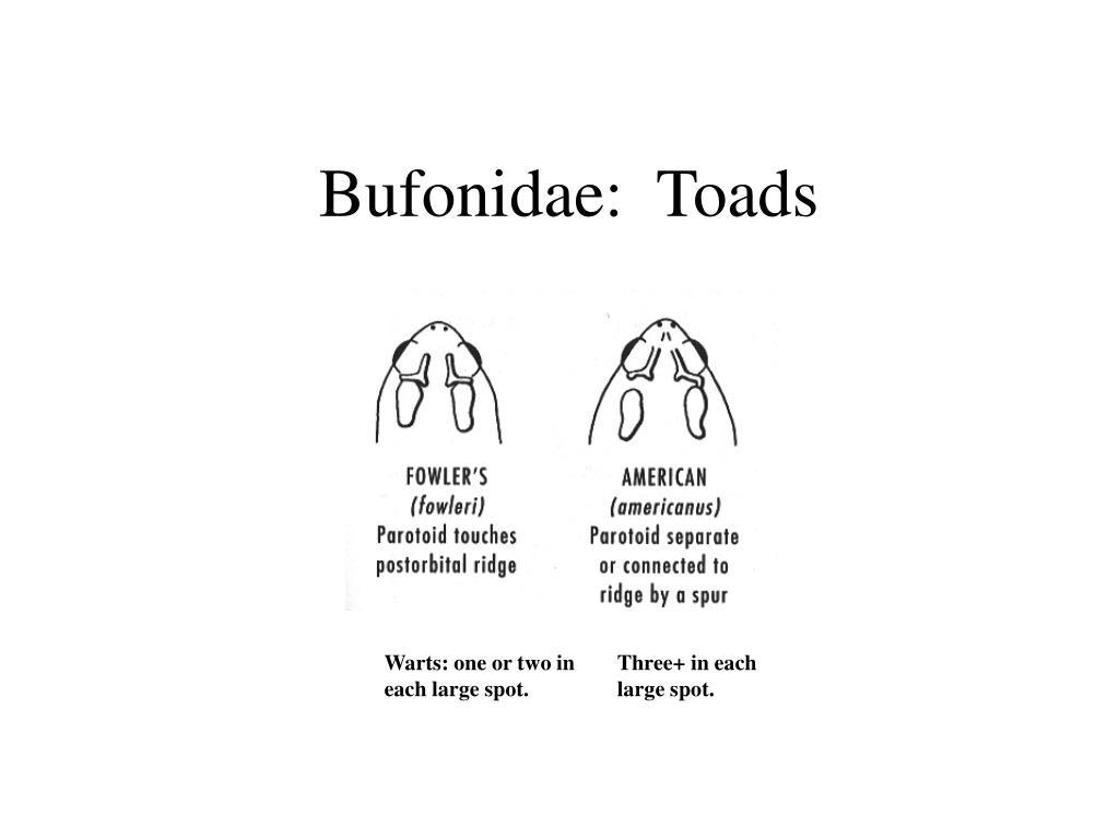 Bufonidae:  Toads
